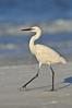 Reddish Egret morph 5461
