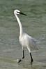 Reddish Egret morph5757