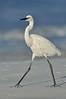 Reddish Egret morph 5463