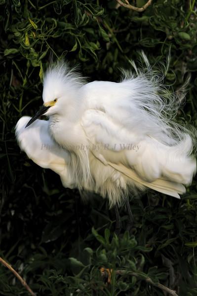 Snowy Egrets 8739 a