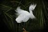 Egret Snowy 8339