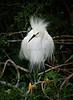 Snowy Egrets 7551