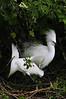 Snowy Egrets 8078