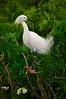 Snowy Egrets 7445 a