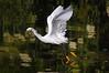 Snowy Egret 5098