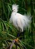 Snowy Egret 1528  a 11x16