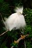 Snowy Egret 7497 a