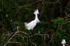 Snowy Egrets 8117