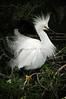 Snowy Egrets 7532