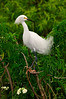 Snowy Egrets 7445