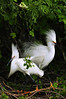 Snowy Egrets 8078 a