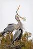 Great Blue Herons 509