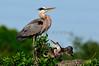 Heron Great Blue 6995