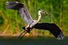 Heron Great Blue 6939