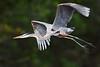 Great Blue Heron 8617
