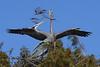 Great Blue Heron 9705