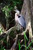 Great Blue Heron 3662