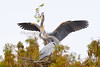 Great Blue Herons 390
