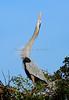 Heron Great Blue 6763