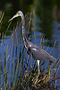 Tricolored heron 8864