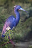 TriColored Heron 5279