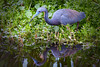 TriColored Heron 9585 a