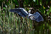 Tricolored heron 8796
