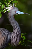 TriColored Heron 7512