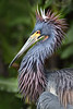TriColored heron 5769