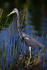 Tricolored heron 8864 a