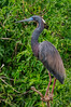 TriColored Heron 1693