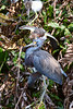 TriColored Heron 5336
