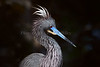 TRicolored heron 7281