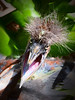 TriColored heron chick 5268