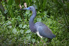 TriColored Heron 9578