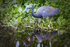 TriColored Heron 9585