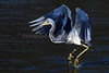Tricolored heron 8820