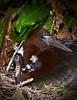 Glossy Ibis Chick 5588