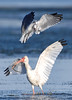 Ibis and sand ell6953 V
