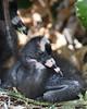 Glossy Ibis Chick 5844