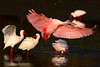 Ibis and spoonbill