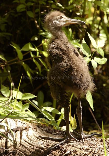 Limpkin Chick 3168