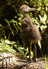 Limpkin Chick 3168