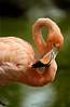 Flamingo8553
