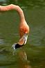 Flamingo8554
