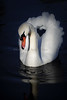 Swan 566 a