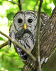 Barred owl Chick  4771