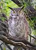 Owl Great Horned 998