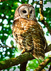 Barred Owl 1462 a