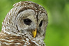 Barred Owl 600